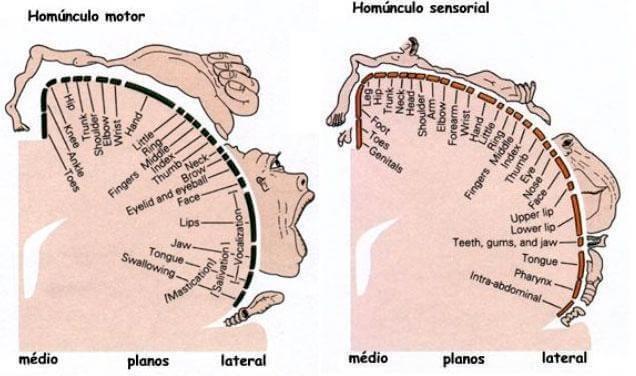 Estructura del homúnculo motor y del homúnculo sensorial