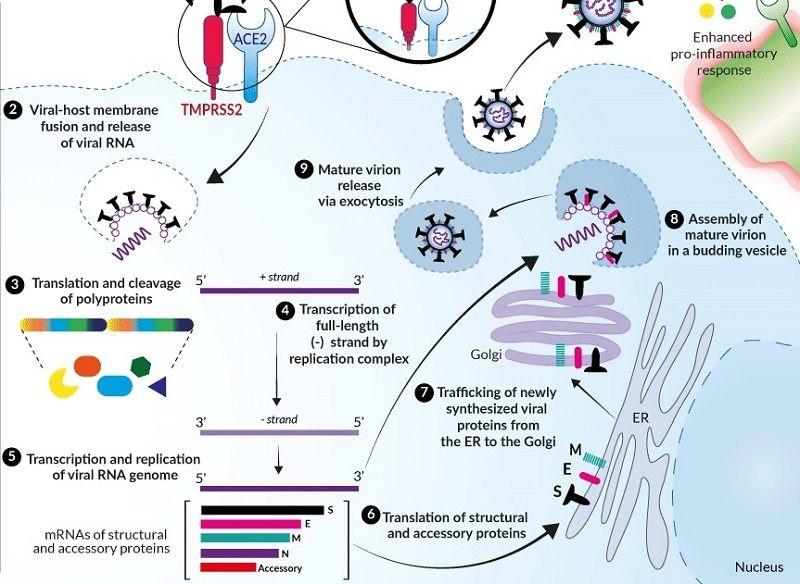 El ciclo de infección del SARS-CoV-2 - IBIAN Technologies